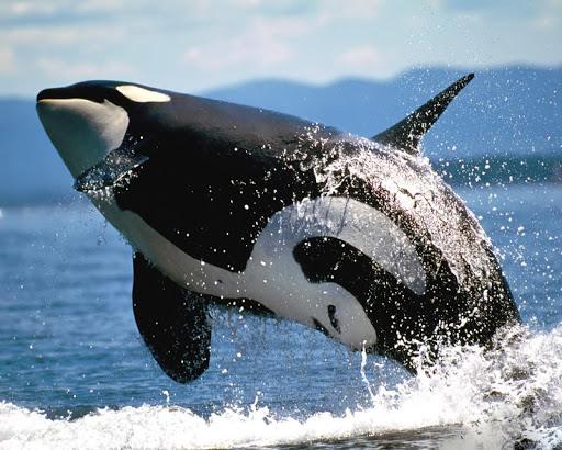 【免費攝影App】虎鯨壁紙-APP點子