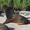Galapagos Sea Lion (male)