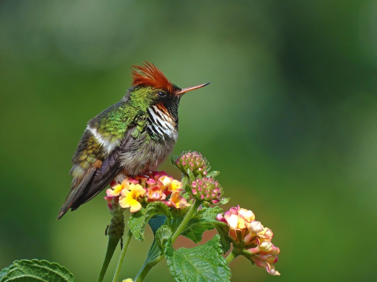 Frilled Coquette