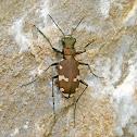 Northern Dune Tiger-Beetle