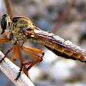Robber fly (female)