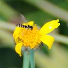 Long Hoverfly, Mosca de las flores esbelta