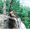 Snow Monkey - Japanese macaque