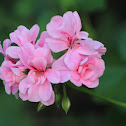 Pink geranium (malvones rosados)