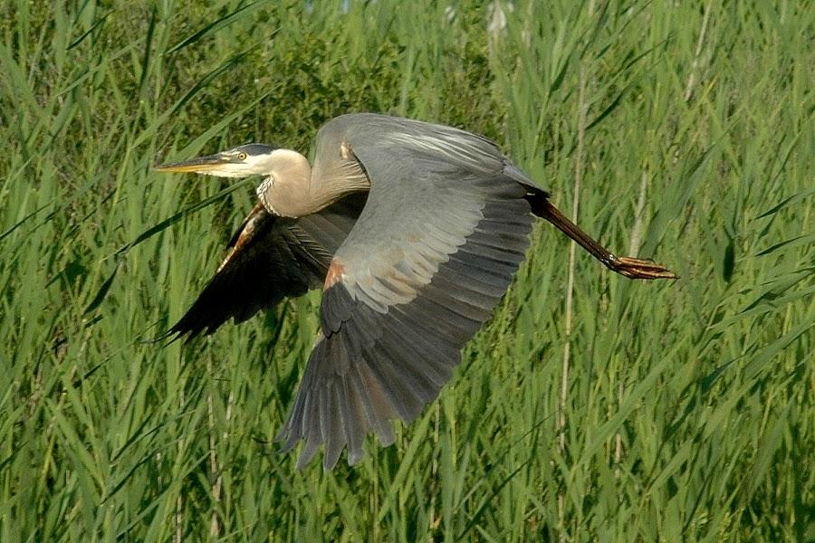 In Flight by Amy Barcroft - Animals Birds