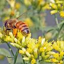 Western Honey Bee - legs packed