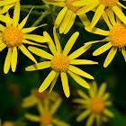 Western Golden Ragwort