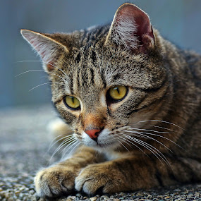 Tomcat by Zoran Rudec - Animals - Cats Portraits
