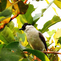 Sooty-headed Bulbul, Kutilang (local)