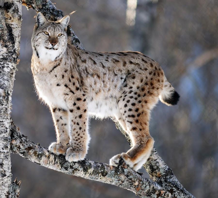 Lynx by Marius Birkeland - Animals Other ( climbing, tree, lynx, arctic, animal,  )
