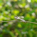 Golden-winged Skimmer Dragonfly (female)