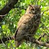 Great Horned Owl ~ Bubo virginianus