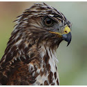 The Red-shouldered Hawk