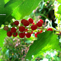 Pigeonberry, Rouge Plant, Baby Peppers, Bloodberry, or Coralito