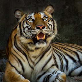 by Charliemagne Unggay - Animals Lions, Tigers & Big Cats (  )