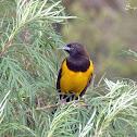 Chopim-do-brejo (Yellow-rumped Marshbird)