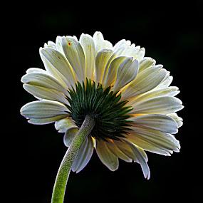 by Monique Sjarief - Flowers Single Flower