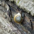 Eastern glass-snail