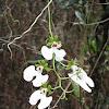 Wild Orchid (Oeonia rosea)