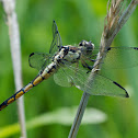 Great Blue Skimmer dragonfly (immature male)