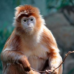 Langur Monkey by Gina Gomez - Animals Other Mammals ( bronx zoo monkeys, monkey picture, langur monkey photo, monkey photo, langur monkey, bronx zoo langur monkey, monkey, animal )