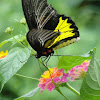 Southern Birdwing
