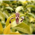 Leaf-footed bug.