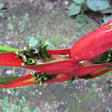 Heliconia stricta Huber