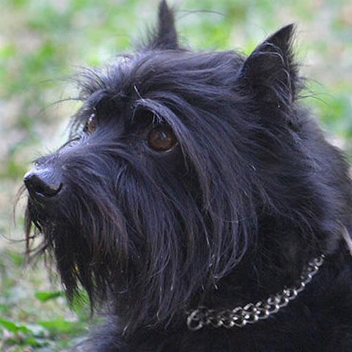 Schnauzer dog & puppy puzzles