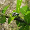 Silverish Beetle