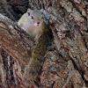 Tree squirrel/Smith's bush squirrel