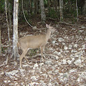 Yucatan Brown Brocket Deer
