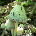 Common Inky Cap