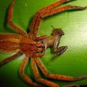 Cupiennius getazi, Wandering Spider