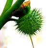 Thorn Apple, Moonflower (Fruit)