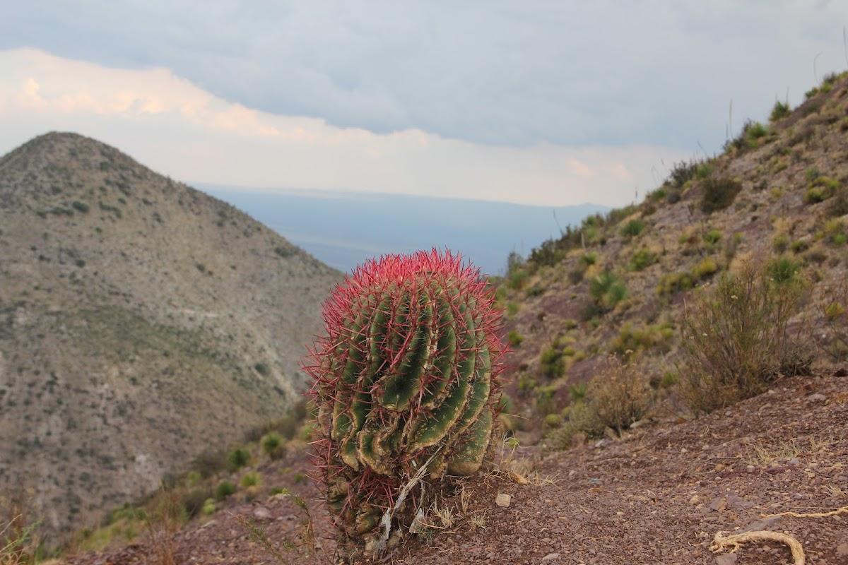 Cactus of red thorns