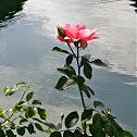 Rose sp.
