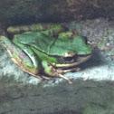 Sapgreen stream frog