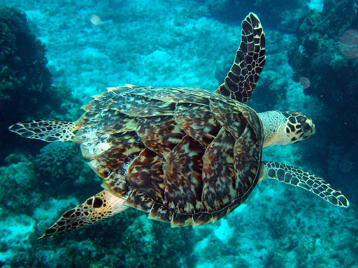 A sea turtle gracefully swims through the reefs off the island of Cozumel.