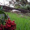 California holly, Christmas berry