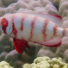 Bigeye Soldier Fish