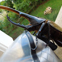 Hercules Beetle