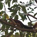malabar giant squrriel