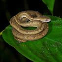 Common Mock Viper