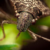White Spotted Shield Bug