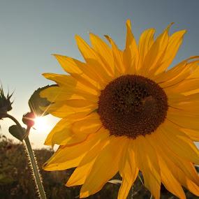 Sunflower by Pipia Kanjeva - Flowers Single Flower ( #hope, #field, #sun, #sunflower, #summer, Hope,  )