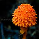 Scaly Tangerine Mushroom