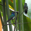 White necked Jacobin male and female