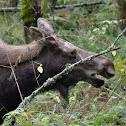 (Moose!) Alces alces