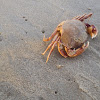 California rock crab